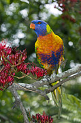 Parrot Metal Prints - Rainbow Lorikeet Metal Print by Tony Camacho