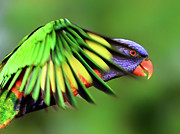 Wings Photos - Rainbow Lorikeet by Vanessa Mylett