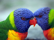 Jervis Prints - Rainbow Lorikeets Print by Alison Johnston