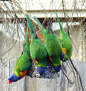 Fir Mamat - Rainbow Lorikeets