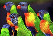 Animals In The Wild Prints - Rainbow Lorikeets Print by Mark Tyacke VisionAiry Photography