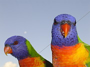 Pat Archer - Rainbow Lorikeets