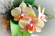 Gardening Photography Framed Prints - Rainbow Orchids Framed Print by Andee Photography