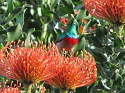 Sunbird Prints - Rainbow sunbird Print by Vijay Sharon Govender