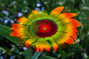 Rainbow Mixed Media - Rainbow Sunflower by Heinz Mielke