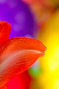 Blooming Photo Prints - RAINBOW TIP red amaryllis petal tip on a rainbow background Print by Andy Smy