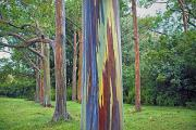 Eucalyptus Prints - Rainbow Tree Maui Print by Monica and Michael Sweet - Printscapes