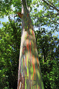 Lush Green Posters - Rainbow tree Poster by Pierre Leclerc