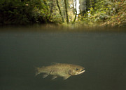 Brook Trout Image Prints - Rainbow Trout In Creek In Mixed Coast Print by Sebastian Kennerknecht