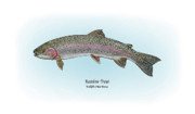 Poster Art Drawings Posters - Rainbow Trout Poster by Ralph Martens