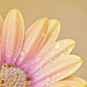 Peachy Posters - Raindropped Daisy Poster by Bonnie Bruno