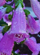 Foxglove Flowers Mixed Media Framed Prints - Raindrops - Seasonal Garden Flower Framed Print by Photography Moments - Sandi