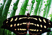 Raindrops Prints - Raindrops and Butterfly Print by Thomas R Fletcher