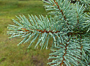 Pine Needles Photos - Raindrops by Arlene Carmel