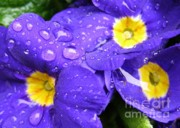 Blue Flowers Photos - Raindrops on Blue Flowers by Carol Groenen