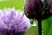 Chives Framed Prints - Raindrops on Chives in Bloom Framed Print by Thomas R Fletcher