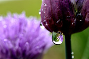 Chives Framed Prints - Raindrops on Chives Framed Print by Thomas R Fletcher
