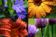 Daylily Photos - Raindrops on Flowers Four Image Horizontal by Thomas R Fletcher