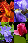 Sorcerers Posters - Raindrops on Flowers Four in One Image Poster by Thomas R Fletcher