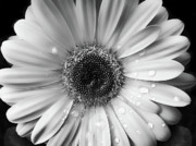 White Daisy Framed Prints - Raindrops on Gerber Daisy Black and White Framed Print by Jennie Marie Schell