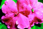 Impatiens Flowers Photos - Raindrops on Impatiens by Thomas R Fletcher