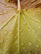 Autumn Leaf Pyrography Posters - Raindrops on leaf 2 Poster by Robert  Perin