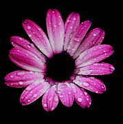Flower Photographs Photo Prints - Raindrops on Petals Print by Tam Graff