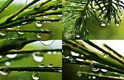Pine Needles Framed Prints - Raindrops on Pine Needles X4 Framed Print by Thomas R Fletcher