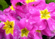 Primroses Photo Metal Prints - Raindrops on Pink Flowers 2 Metal Print by Carol Groenen