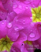 Yellow Primrose Framed Prints - Raindrops on Pink Flowers Framed Print by Carol Groenen