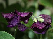 Raindrops Prints - Raindrops on Purple Sweet Peas Print by Marjorie Imbeau