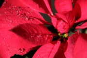 Tree Leaf On Water Photo Prints - Raindrops on Red Poinsettia Print by Mariola Bitner