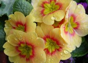 Primroses Art - Raindrops on Yellow Flowers by Carol Groenen