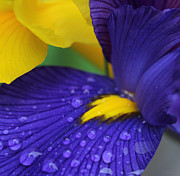 Rain Drop Posters - Raindrops Purple Dutch Iris Flower Poster by Jennie Marie Schell