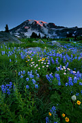 Rainier Wildflower Dawn Print by Mike  Dawson