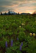 Meadow Originals - Rainier Wildflower Light by Mike  Dawson