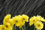 Raining Posters - Raining On Yellow Daisies Poster by Natural Selection Craig Tuttle
