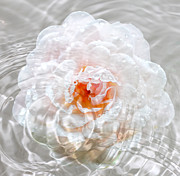 Puddle Digital Art Prints - Raining Rose Print by Tracie Kaska