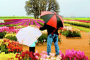 Blue Trees Prints - Rainy Day at the Tulip Farm Print by Margaret Hood