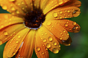 Dew Prints - Rainy Day Daisy Print by Thomas R Fletcher