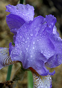 Raindrops On Flowers Prints - Rainy Day Iris Print by Carol Groenen