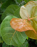 Rainy Day Photo Originals - Rainy Day Sea Grape Leaves by Warren Thompson