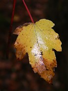 Rainy Day Photo Originals - Rainy Day Sweet Gum Leaf by Warren Thompson