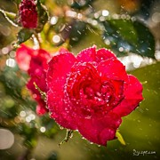 Beauty Posters - Rainy Rose. #flowers #rain #photos Poster by Adam Romanowicz