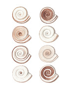 Sea Shells Painting Posters - Ramshorn Poster by Amanda Makepeace