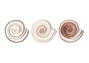Sea Shells Painting Posters - Ramshorn Shells Poster by Amanda Makepeace