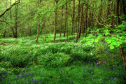 Forest Prints - Ramsons and Bluebells Print by John Edwards