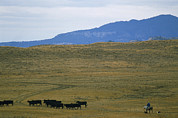 Working Dogs Framed Prints - Rancher Moves His Cattle Under Little Framed Print by Gordon Wiltsie