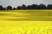 Cereals Framed Prints - Rape Field in East Germany Framed Print by Heiko Koehrer-Wagner