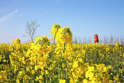 Floral Photographs Prints - Rape field with photographer Print by Heiko Koehrer-Wagner